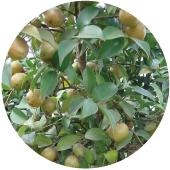 苦茶油Camellia oleifera 250ml