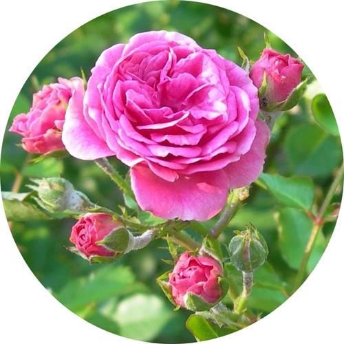 奧圖大馬士革玫瑰精油