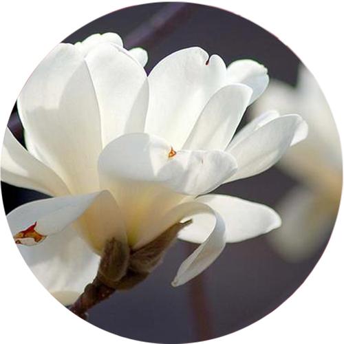 玉蘭花香精20ml